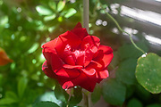 close up of a blooming Red Don Juan Climbing Rose in a garden. Photographed in Israel in May