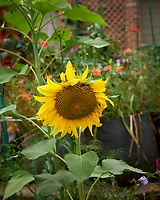 Sunflower. Image taken with a Leica CL camera and 23 mm f/2 lens.