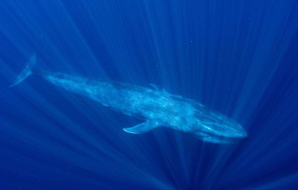 A pygmy blue whale (Balaenoptera musculus brevicauda) underwater off Sri Lanka.