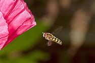 Eupeodes luniger - male
