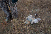 Experienced hunter Byron Grubb out on the North Dakota prarie grasslands west of Minot, shooting upland game birds such as pheasants (of which one he has shot lays here) and grouse (also known in this area as 'chickens'). Byron has been shooting for most of his life and puts considerable efforts into his hunting, efforts which reward him with wild game meats, none of which is wasted. This cold wet morning is not ideal for this type of shooting as the birds tend to sit tight in the undergrowth. The hunters on occasion nearly tread on the birds before they will take flight.