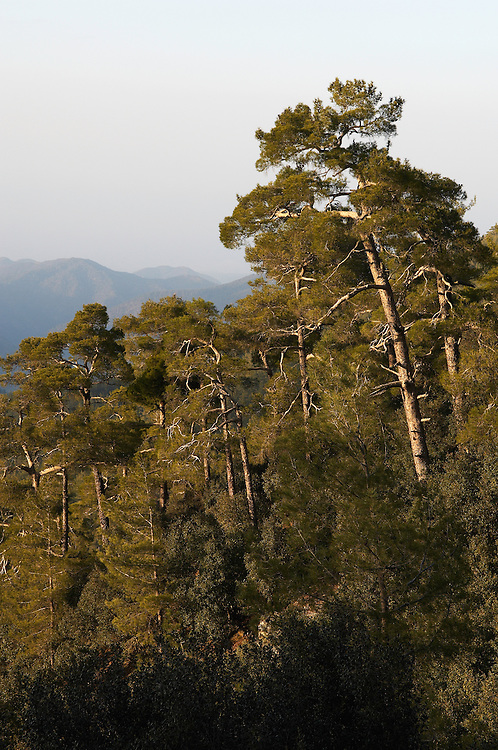 Pine forest in Troodos mountains, Cyprus