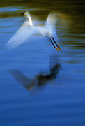 Image of a snowy egret in flight at J. N. Ding Darling National Wildlife Refuge, Sanibel Island, Florida, American Southeast by Andrea Wells