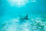 spotted eagle ray, Aetobatus narinari, feeding in sand, <br /> Belize, Central America ( Caribbean Sea )