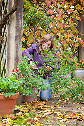 Cutting back tender plant (salvia) before bringing into the greenhouse to overwinter