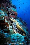hawksbill sea turtle, Eretmochelys imbricata, <br /> resting on coral wall, Sipadan Island, <br /> off Borneo, Sabah, Malaysia ( Celebes Sea )
