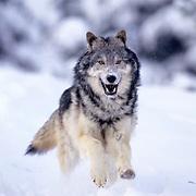 Gray Wolf, (Canis lupus) Running. Winter. Montana. Captive Animal.