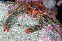 Squat lobster, Galathea strigosa.Moere coastline, Norway