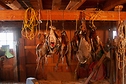 After the week shooting ducks and upland game birds, the haul of dead birds is hanging and the hunters have the job of cleaning, plucking, skinning, dividing and generally processing the birds for their freezers, near Minot, North Dakota, United States. This is a strong smelling and gruesome job, but an important part of the process of gaining your own wild meat. Here the birds have been hanging for anything from a day to a week.