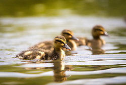 © Licensed to London News Pictures. 16/05/2016. Leeds UK. Ducklings enjoy another day of sunshine on the pond in Roundhay Park in Leeds.  Photo credit: Andrew McCaren/LNP