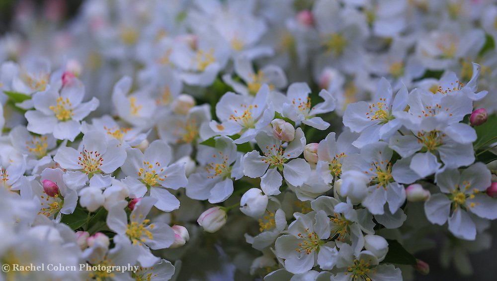 """""""Pieces of April""""<br /> <br /> Gorgeous delicate white apple blossoms in April!"""
