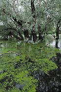 Swamp forest in bird colony. Danube delta rewilding area, Romania