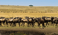 A herd of migrating  Wildebeest in the Masai Mara National Park, Kenya