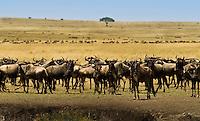 A herd of migrating  Wildebeest in the Masai Mara National Park, Kenya