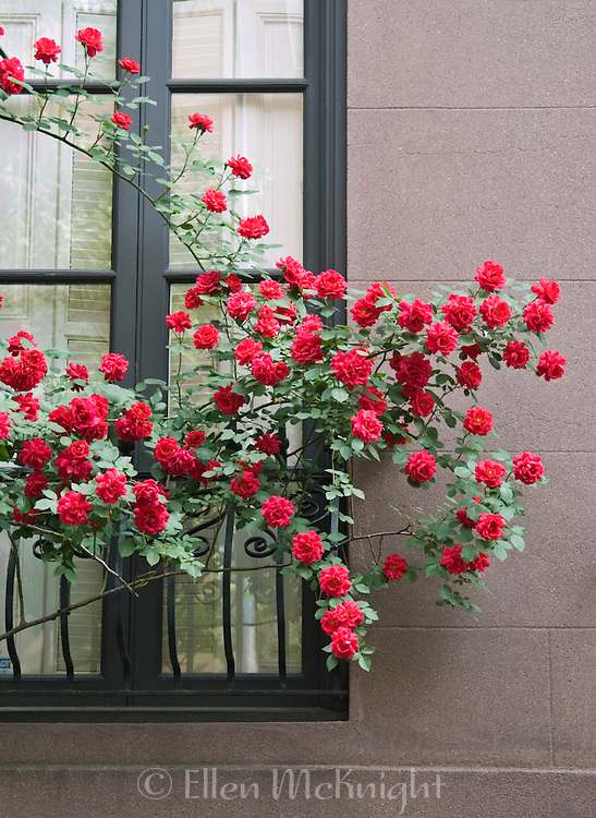 Roses Growing on the Side of a Brownstone Apartment Building in Chelsea, NY