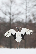 Red Crowned Crane, Grus japonensis, dancing, displaying, wings open, Hokkaido Island, japanese, Asian, cranes, tancho, crested, white, black,  wilderness, wild, untamed, photography, ornithology, snow
