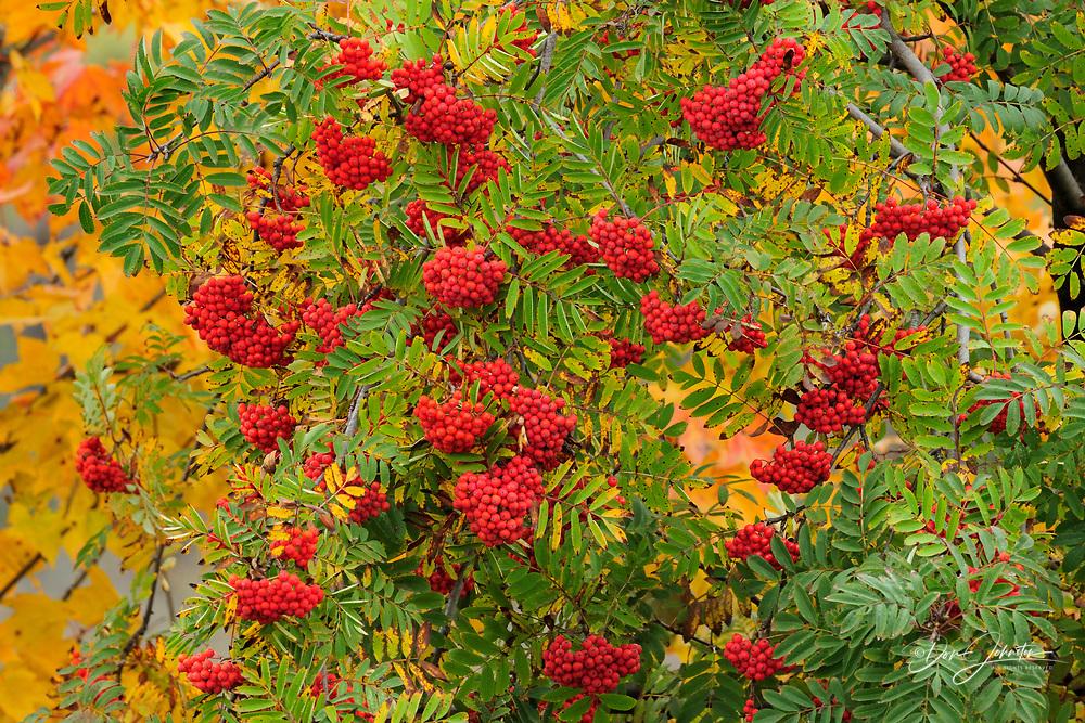 Eastern Mountain Ash (Sorbus aucaparia) Berries and autumn foliage, Espanola, Ontario, Canada