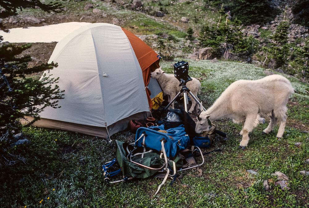 Mountain goats seeking salt on backpacks, Royal Basin, Olympic National Park, Washington, USA