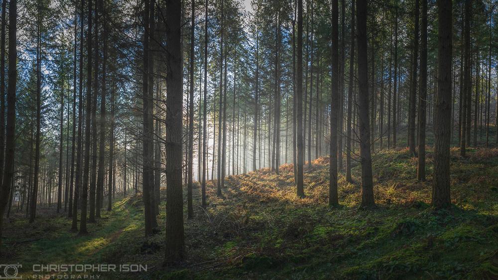Henley Copse, near Midhurst, Sussex, England.<br /> Picture date: Tuesday January 21, 2020.<br /> Photograph by Christopher Ison ©<br /> 07544044177<br /> chris@christopherison.com<br /> www.christopherison.com