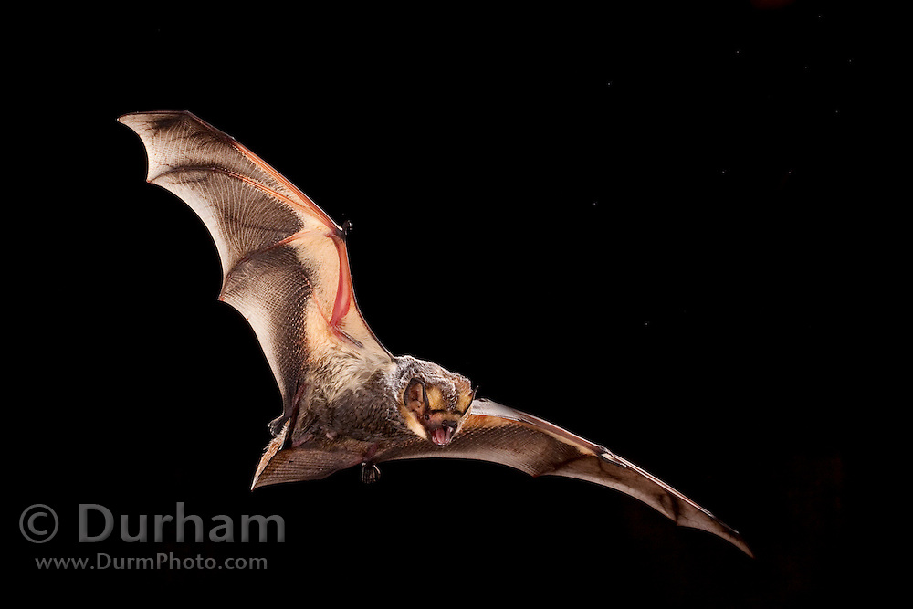 Male hoary bat (Lasiurus cinereus), Photographed near the Conasauga River in the Chattahoochee National Forest, Georgia.