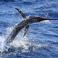 Sailfish-Offshore-Lobito