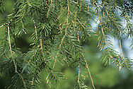 Santa Lucia Fir Abies bracteata (Pinaceae) HEIGHT to 38m <br /> Tall, narrowly conical evergreen with tapering crown, strong foliage and pointed buds. BARK Black, marked with scars of fallen branches. LEAVES Sharp-spined needles, up to 5cm long, dark green above with 2 light bands below. REPRODUCTIVE PARTS Bright-green cones, up to 10cm long, are distinctive with their long projecting hair-like bracts, which persist throughout summer. Flowers are small and insignificant; males yellowish, growing on underside of shoot, females green, growing on top of shoot. STATUS AND DISTRIBUTION Rare native of S California. Does well in rainier parts of our region.