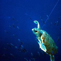 Turtle caught in Spanish longline, Mediterranean. Accession #: 0.89.121.001.14