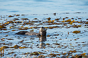California sea otter, Enhydra lutris nereis ( threatened species ), male spyhops and sniffs the air to locate nearby female, Morro Bay, California, United States ( Eastern Pacific )