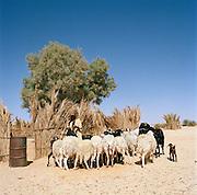 Local Tuareg girl with a herd of goats near Tasawah, Libya