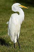 Great Egret (Casmerodius albus) in urban pond<br />Winnipeg<br />Manitoba<br />Canada