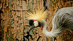 The East African Crowned Crane (Grey Crowned Crane) gets its name from the distinctive golden crown of feathers on its head. The Grey Crowned Crane is a bird in the crane family Gruidae. It occurs in dry savannah in Africa south of the Sahara, although it nests in somewhat wetter habitats.They can also be found in marshes. This photo was taken at the Saint Louis Zoo<br /> <br /> This species and the closely related Black Crowned Crane are the only cranes that can roost in trees, because of a long hind toe that can grasp branches. This habit, amongst other things, is a reason why the relatively small Balearica cranes are believed to closely resemble the ancestral members of the Gruidae.<br /> <br /> The body of the Grey Crowned Crane is mainly gray. The wings are predominantly white, but contain feathers with colors ranging from white to brown to gold. The head is topped with a crown of stiff golden feathers. Cheek patches are white, and a red gular sack is present under the chin. The gular sack is similar to a wattle, except that it can be inflated. Legs and toes are black. The bill is short and dark gray. <br /> <br /> West African crowned cranes are monogamous birds that form pairs for life. Pairs can be seen together even in the middle of a large flock, which suggests an exceptionally strong pair bond. Adult cranes reinforce their pair bond by dancing for and with each other. They perform ritualistic dance displays that include bows, leaps, runs, wing flapping, short flights, jerky bouncing, running, and stick tossing. Cranes of all ages dance. Among younger birds, dancing may serve to reduce aggression with other cranes, provide physical exercise, and possibly relieve anxiety.