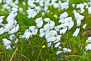 Bog Cotton, cotton-grass, Eriophorum blowing in the wind at Cleggan, Connemara, County Galway