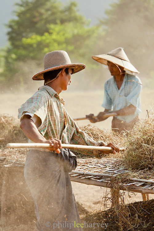 Farmers beat ground nut bushes to sieve out the nuts after they have been ploughed from the ground. Seen here near the ancient city of Bagan, Myanmar
