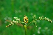AF5GK9 Pteridium aquilinum bracken fern leaf frond