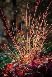 The red stems of Cornus sanguinea 'Midwinter Fire' growing with  × Heucherella 'Sweet Tea'
