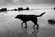 varengeville sur mer, France, 31 dec 2016, Black dog walking on the beach.