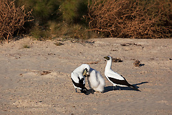 Masked Booby (Sula dactylatra) parents tend to their chick on Adele Island, north of Broome on the Kimberley coast. Adele Island is an important nesting site and rookery for the birds.  Prior to this shot, one of the parents had chased away a Brown Booby.