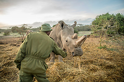 Wildlife ranger Zacharia Mutai walks with Fatu and Najin, the last two female Northern White Rhinos left on the planet,  March 20, 2018 at Ol Pejeta Wildlife Conservancy in Northern Kenya. Their father, Sudan, the last male Northern white rhino passed away on March 19 after living a long, healthy life  after he was brought to Kenya from Dvur Kralov zoo in the  Czech Republic in 2009. He died surrounded by people who loved him at  after suffering from age-related complications that led to degenerative changes in muscles and bones combined with extensive skin wounds. Sudan has been an inspirational figure for many across the world. Thousands have trooped to Ol Pejeta to see him and he has helped raise awareness for rhino conservation. The two female northern white rhinos left on the planet are his direct descendants. Research into new Assisted Reproductive Techniques for large mammals is underway due to him. The impact that this special animal has had on conservation is simply incredible. And there is still hope in the future that the subspecies might be restored through IVF. <br /> In 2009, I had the privilege of following this gentle hulking creature on his journey from the snowy Dvur Krulov zoo in the Czech Republic to the warm plains of Kenya, when he was transported with three of his fellow Northern White Rhinos in a last ditch effort to save the subspecies. It was believed that the air, water, and food, not to mention room to roam, might stimulate them to breed—and the offspring would then be used to repopulate Africa. At the time, there were 8 Northern white rhinos alive, all in zoos. Today, we are witnessing the extinction of a species that had survived for millions of years but could not survive mankind. (Photo by Ami Vitale)