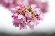 Cherry blossoms collect raindrops on trees along Lake Washington Boulevard near Seward Park. (Bettina Hansen / The Seattle Times)
