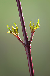 Dogwood stem forced into early leaf by being brought indoors in spring