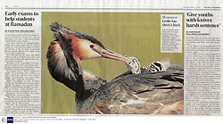 REFERENCE ONLY<br /> Mandatory Credit: Photo by Ben Andrew/REX (3703420m)<br /> The Daily Telegraph - 17 Apr 2014<br /> Great Crested Grebes nesting in the campus of York University, Britain - 15 Apr 2014