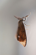 The antennae of a moth. Antennae (antenna) in biology have historically been paired appendages used for sensing in arthropods, as in this insect.