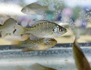 Hamptonburgh, New York - A bluegill (Lepomis macrochirus) and other freshwater fish swim in a fish tank in an exhibit at the fourth annual Earth & Water Festival at Thomas Bull Memorial Park on June 4, 2011. ©Tom Bushey / The Image Works