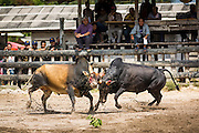 08 FEBRUARY 2014 - PHAWONG, SONGKHLA, THAILAND:  Bullfighting action in a ring in a rural part of Songkhla province, Thailand. Bullfighting is a popular past time in southern Thailand. Hat Yai is the center of Thailand's bullfighting culture. In Thai bullfights, two bulls are placed in an arena and they fight, usually by head butting each other, until one runs away or time is called. Huge amounts of mony are wagered on Thai bullfights - sometimes as much as 2,000,000 Thai Baht ($65,000 US).   PHOTO BY JACK KURTZ