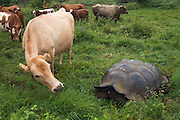 Indefatigable Island Tortoise (Chelonoidis nigra porteri) and Domestic Cattle (Bos taurus), Santa Cruz Island, Galapagos Islands, Ecuador