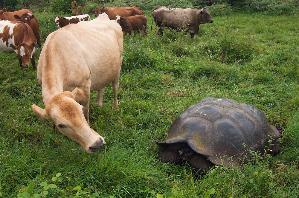 Indefatigable Island Tortoise (Chelonoidis nigra porteri) and Domestic Cattle (Bos taurus), Santa Cruz Island, Galapagos Islands, Ecuador