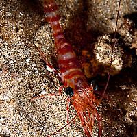 Candy Cane Shrimp, Parhippolyte mistica, (Clark, 1989), Maui Hawaii,  Sheraton reef