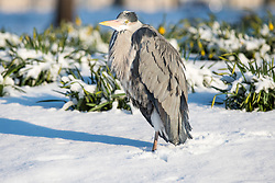 © Licensed to London News Pictures. 28/02/2018. London, UK. A heron stands in the snow in St James Park in London after heavy overnight snowfall as the 'Beast from the East brings freezing Siberian air to the UK. Photo credit: Rob Pinney/LNP