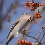 Bohemian Waxwing, lone bird sits on branch of Mountain Ash tree, feeding on berries. Wisconsin.