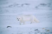 Arctic fox ( Vulpes lagopus ) in snow on tundra of Hudson Bay Lowlands <br />Churchill<br />Manitoba<br />Canada